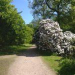 Balgonie Park rhododendron white
