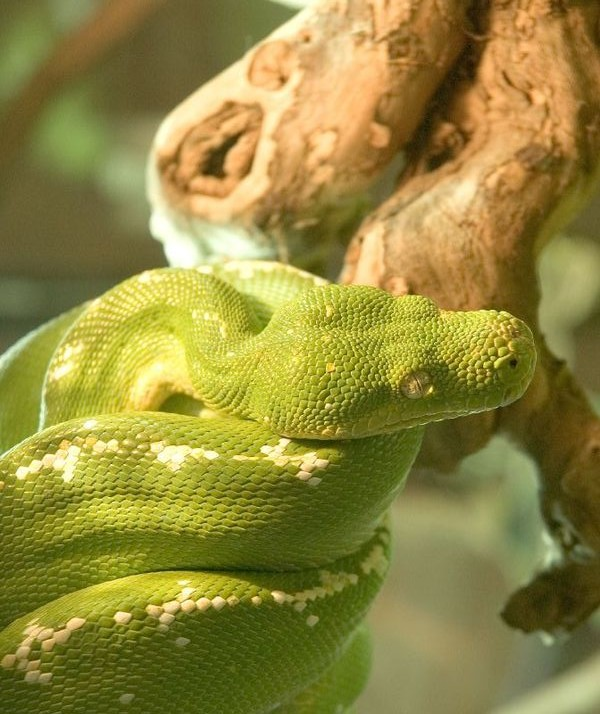 Image of a Green tree python